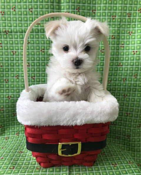 AKC MALE PUPPY AVAILABLE